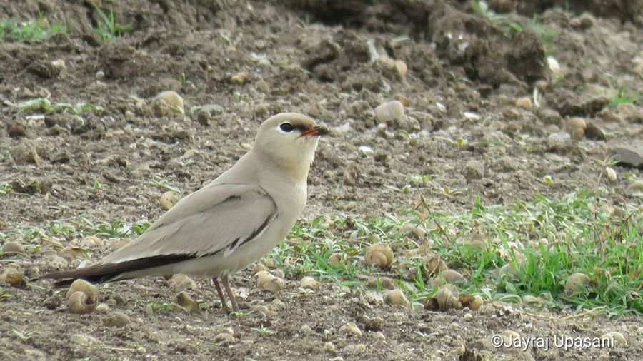 Small Pratincole Birds Bird Field Animal Themes Grass Close-up Shore