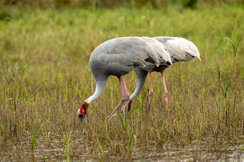 sarus crane or