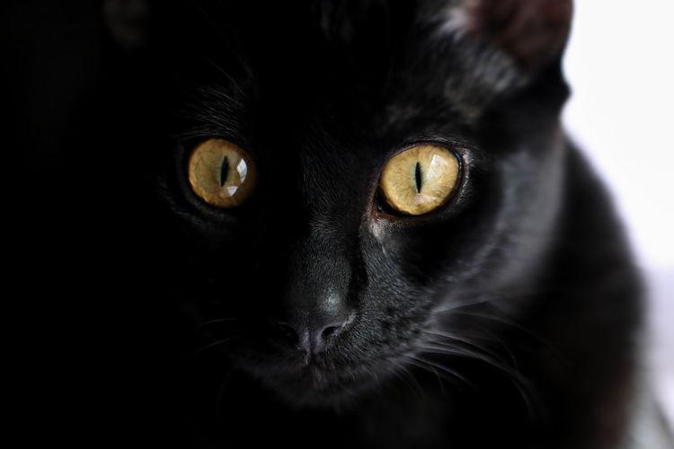 Close-up portrait of black cat against white background