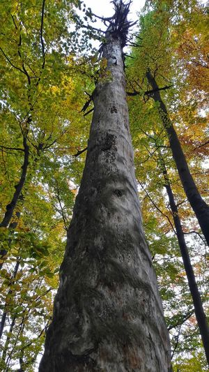 Tree Tree Trunk Growth Nature Day Outdoors Beauty In Nature Green Color Tranquility Power Of Nature Autumn Autumn Colors Autumn Leaves Autumn Collection Autumn 2017 Forest Photography Forestwalk Połoniny Forest
