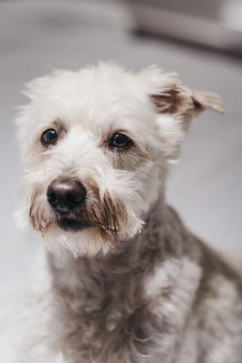 Close up portrait of a senior ganaraskan dog, looking at the camera, selective focus.
