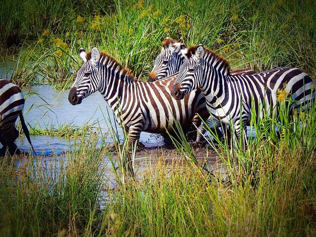 Check This Out Hanging Out Taking Photos Natural Photography Zebras Nature_collection Wildlife Photography Nikon D7100 Kenya-Nairobi Eyemphotography EyeEm Best Shots - Nature
