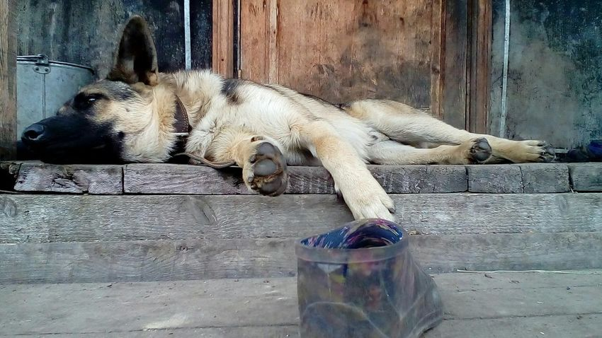 One Animal Animals In The Wild Relaxing Village Life Doggy World Summer Animals In The Wild This Morning EyeEm Foto Dogs Nature Dogs Of EyeEm Summertime My Pets Dogs Life Today Dogphoto Day No People Pets Animal Themes
