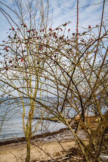 rosehip bush at the beach Bare Tree Beach Branch Bush Close-up Cloud - Sky Clouds Day Flensburg Nature No People Outdoors Rosehip Flower Sand Sky Solitude Soltüde Tree