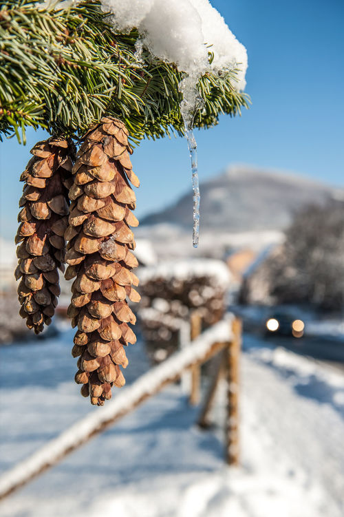 Winter Beam Of The Headlights Beauty In Nature Close-up Day Focus On Foreground Food Freshness Hohenneuffen Nature No People Outdoors Pine Cone Sky Snow Tree