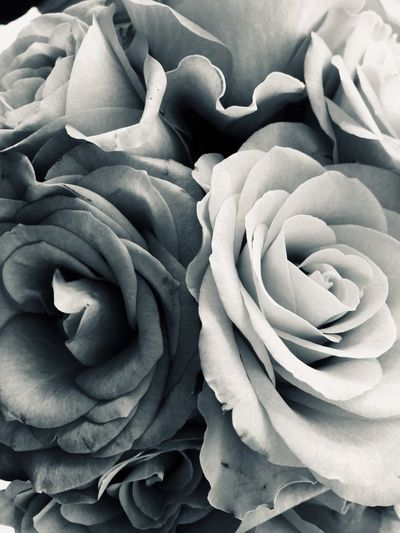 Blackandwhite Full Frame Backgrounds Flower Close-up Beauty In Nature Flowering Plant No People Freshness Plant Flower Head Inflorescence Petal Rosé Growth Botany Nature Vulnerability  Fragility Pattern Rose - Flower
