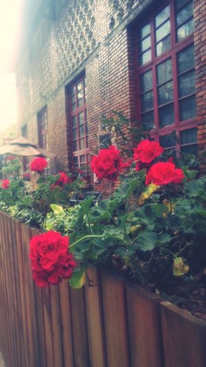 Plant Flowering Plant Flower Building Exterior Architecture Built Structure Nature Building Day Window Growth Fragility Vulnerability  Freshness No People Beauty In Nature Outdoors Red Potted Plant Fence