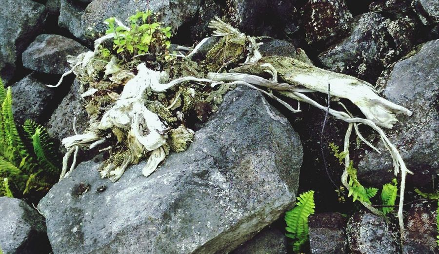 Day Lava Rocks Moss Moss & Lichen Fern From The Roadside Deadwoods White Wood Branches Soil Earthy High Angle View Outdoors No People Nature Textured  Growth Close-up Big Island Hawaii Hawaii Out And About ♥ Hawaii Life Aloha Greenery Fishing Net