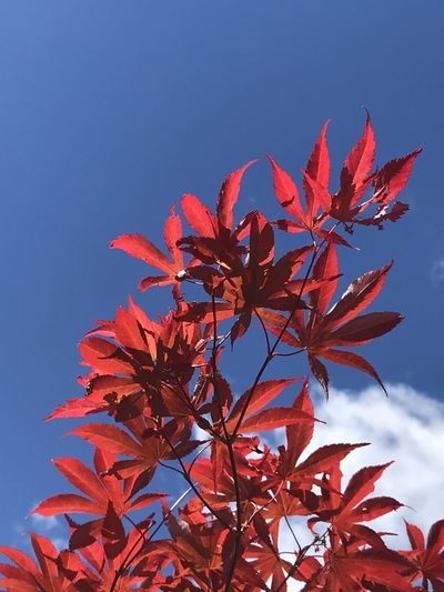 Low angle view of red maple leaves against blue sky