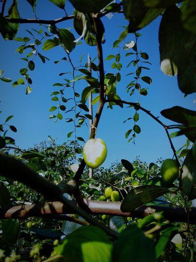 OG. Tree Branch