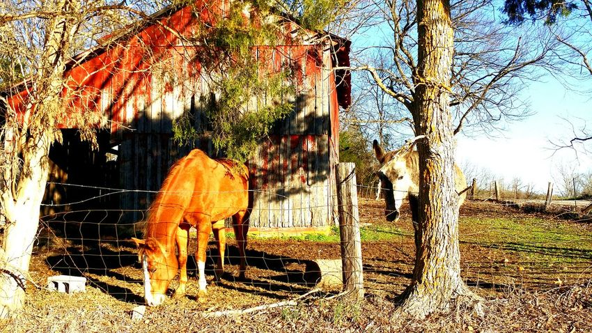 Hiding in plain sight Hiding Out Making Friends Hello World Rural America Tennessee Outdoors Tree Bark Don't Look Now Horses Old Barns Donkey EyeEm Nature Lover Making New Friends Early Morning No People Shyness Shy Home Sweet Home Tranquil Scene Rustic Living Rustic Scenics Beauty In Nature Fall Beauty Authentic Moments Open Edit EyeEm Best Shots Shy Boy