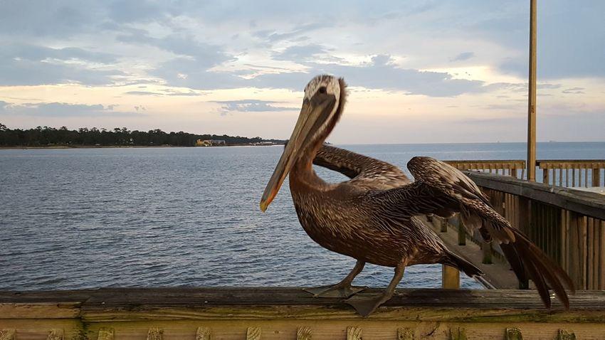 Fairhope Pier Pier Pelican Fairhope  Bird