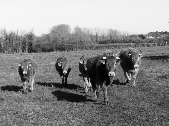 Cows Herd Coming Group Of Animals Herbivorous Herd Cows Livestock Cattels Farm Animals Six Cows Six Animals Outdoor Country Countryside Black And White Photography EyeEm Best Shots - Black And White Eyeem Best Shots - Animals In France