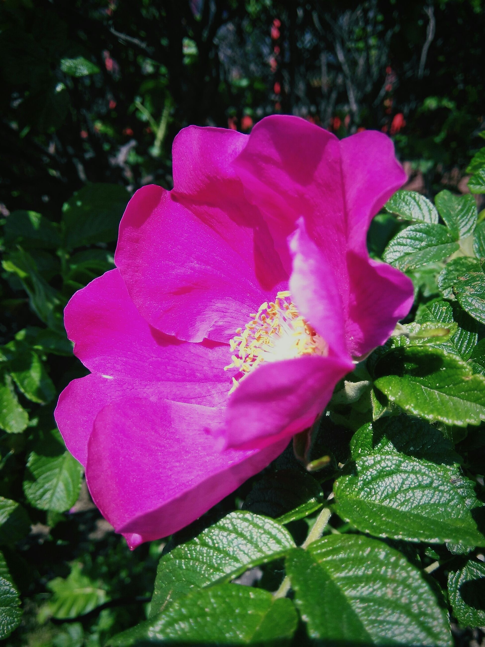 flower, petal, flower head, freshness, fragility, growth, pink color, beauty in nature, close-up, leaf, blooming, single flower, nature, plant, focus on foreground, in bloom, rose - flower, park - man made space, day, outdoors