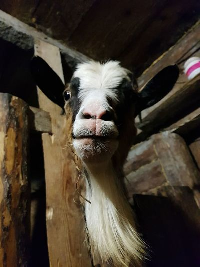 Goat face Goat Countryside Ferm Russia россия Agriculture Close-up Livestock Animal Body Part