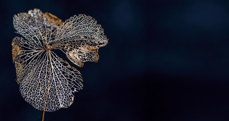 Close-up of wilted flower on black background