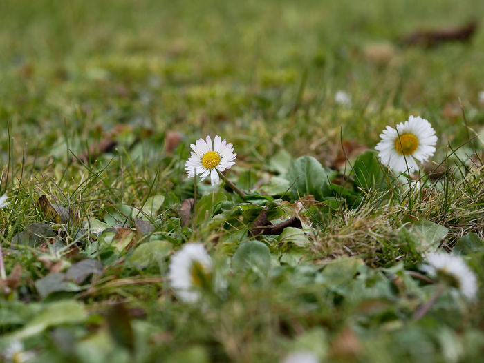 Flower Flowering Plant Plant Freshness Fragility Vulnerability  Growth Selective Focus Beauty In Nature Nature Close-up Flower Head Inflorescence Petal Field Land Daisy Green Color White Color No People Outdoors