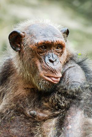 Animal Themes Animal Wildlife Animals In The Wild Bangkok Thailand. Chimpanzee Day Dusit Zoo Mammal Monkey Nature No People Outdoors Portrait Zoo