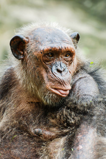 Close-up of chimpanzee looking away