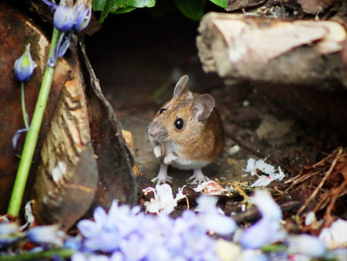 Close-up of mouse on purple flowers