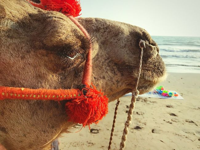 """Now I'm going to put my eyelashes on and stretch my legs out and do a show..."" Animalphotography Camel Karachi Pakistan Domestic Animals Close-up"