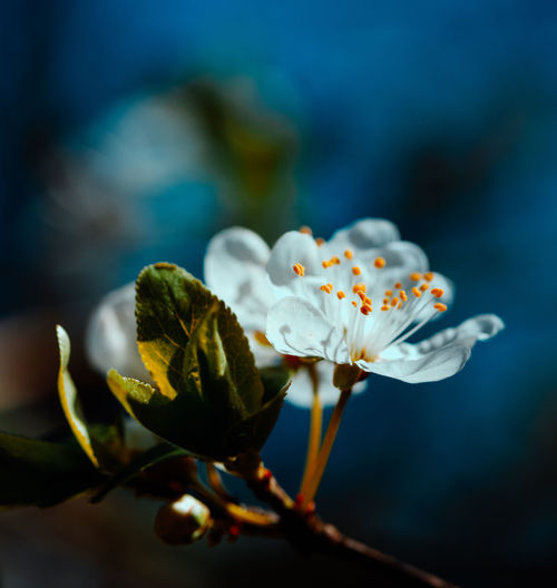 Close-up of pear blossom in spring