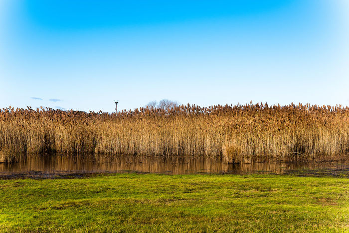 Golden brown marsh grasses bend in the wind, under a clear blue sky with bright green grass in the foreground. Beauty In Nature Cereal Plant Day Field Grass Green Color Landscape Nature No People Outdoors Rural Scene Scenics Sky Tranquil Scene Tranquility Tree