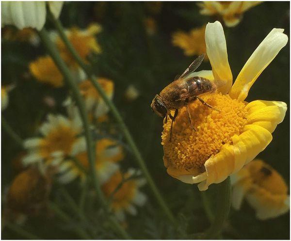 Colour Of Life Honey Bee Bee Workerbee Flower HoneyBee Summer Garden Photography IPhoneography Beefood Meadowflowers
