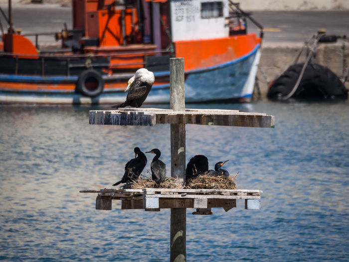 Cormorants nesting and breeding in Lambert's Bay, South Africa Breeding Cormorant  Harbor Lamberts Bay Animal Themes Animal Wildlife Animals In The Wild Bird Coast Day Moored Nature Nautical Vessel No People Outdoors Perching Sea Seagull Transportation Water Wooden Post