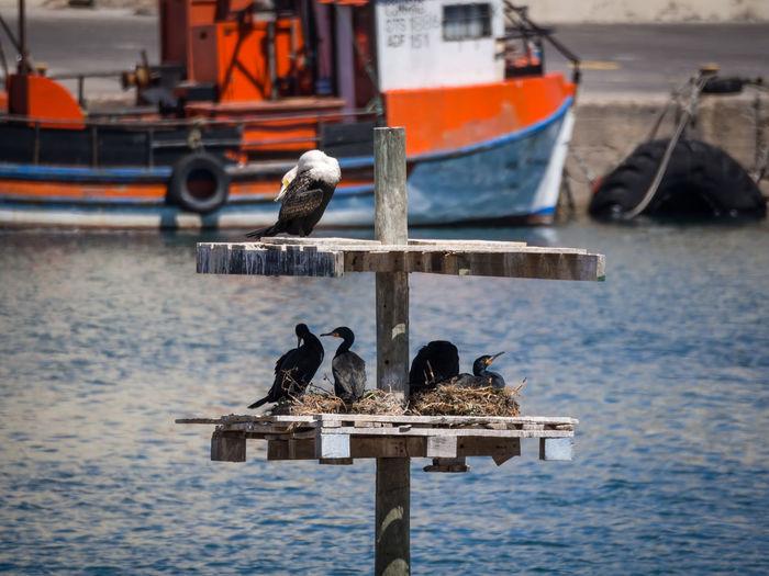Cormorants perching on wooden post by sea