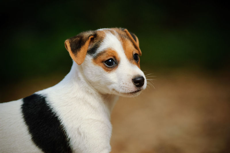 Jack Russell Terrier puppy dog portrait Dog Canine Close-up Looking Puppy Looking Away Cute Young Animal No People Small Innocence Animal One Animal Purebred Dog Portrait Animal Themes Jack Russell Terrier Jack Russell Jack Russell Puppy Plant Baby Young Adult Pets Domestic Animals