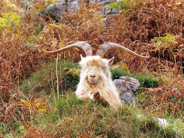 Hi dude, gimme two. Goat Animal Hair Animal Themes Grass Great Orme Llandudno Mammal Nature No People North Wales One Animal Outdoors Wild Goats