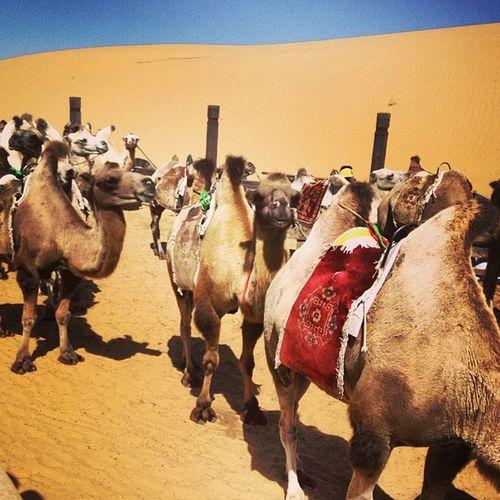 我觉得比骑马舒服 一路见不少骆驼队 都好乖的 还有的口吐白沫=。=