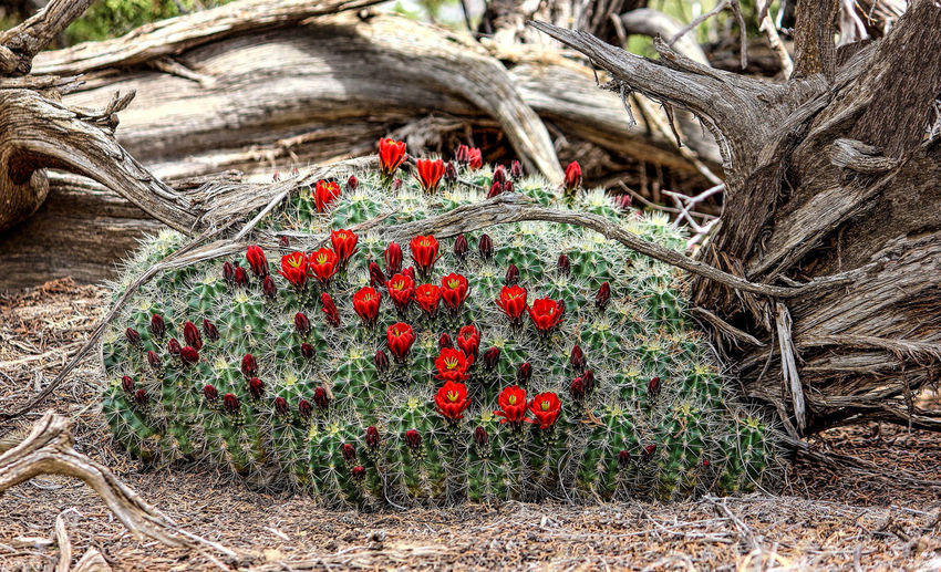 Barrel Cactus Bloom Beauty In Nature Close-up Day Deadwood  Freshness Growth Nature No People Outdoors Plant Red Sunlight