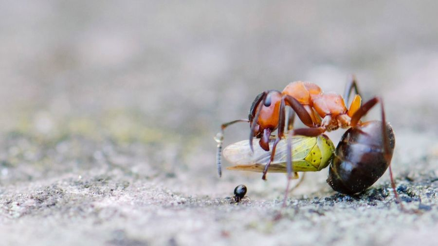 Close-up of ant hunting insect on field