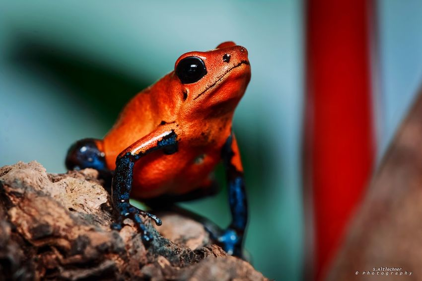 Look up Toxic Oophaga Pumilio Beautiful Red Color Red NRW Germany Amphibian Colorful Beauty In Nature Frog Animals Animal Day Close-up No People Nature