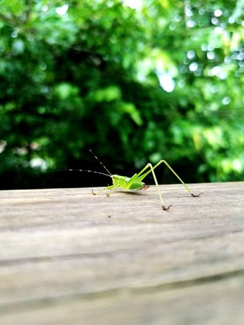 Summer Grasshopper Insect Animals In The Wild Animal Wildlife One Animal Animal Themes Day Outdoors Selective Focus Green Color No People Leaf Nature Tree Close-up