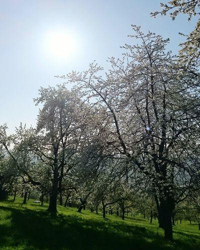 Sky Tree Grass No People Nature Beauty In Nature Outdoors Blue Sky Bluebird Kirschblüte Sonntagsausflug