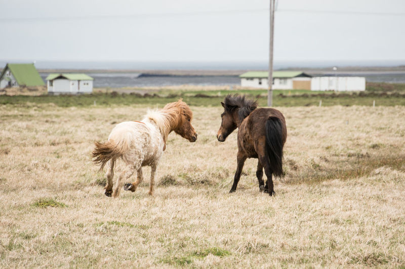 Iceland Iceland Memories Animal Themes Animals In The Wild Day Domestic Animals Grass Iceland Trip Iceland_collection Livestock Mammal Nature No People Outdoors