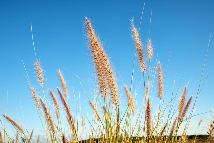 Agriculture Beauty In Nature Blue Cereal Plant Clear Sky Close-up Crop  Day Field Freshness Grass Growth Landscape Nature No People Outdoors Plant Rural Scene Scenics Seed Sky Summer Tranquil Scene Tranquility Wheat