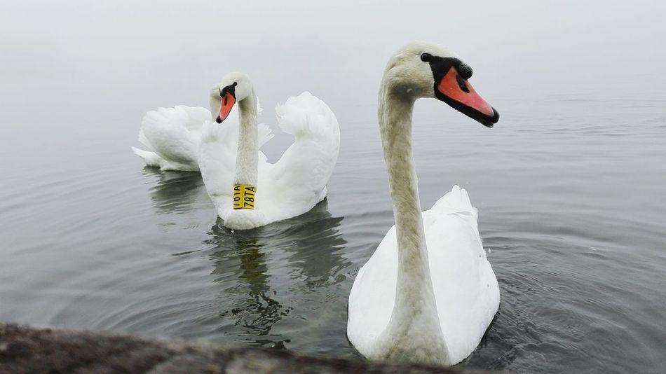 Lake Swan Swans Animals Animal Szécsény