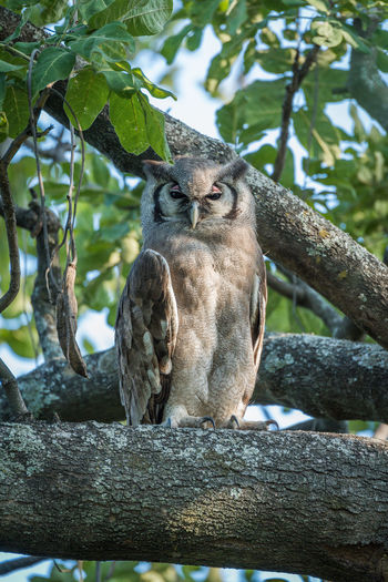 Spotted Eagle Owl Perching On Tree