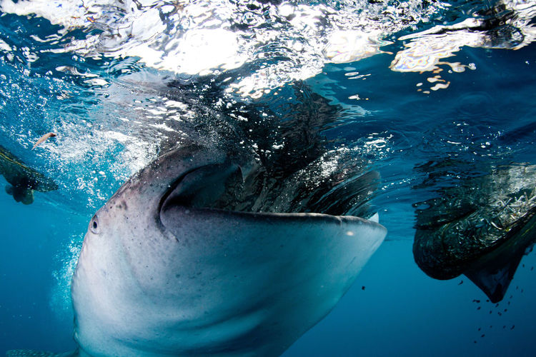Close-Up Of Whale Shark Swimming In Sea