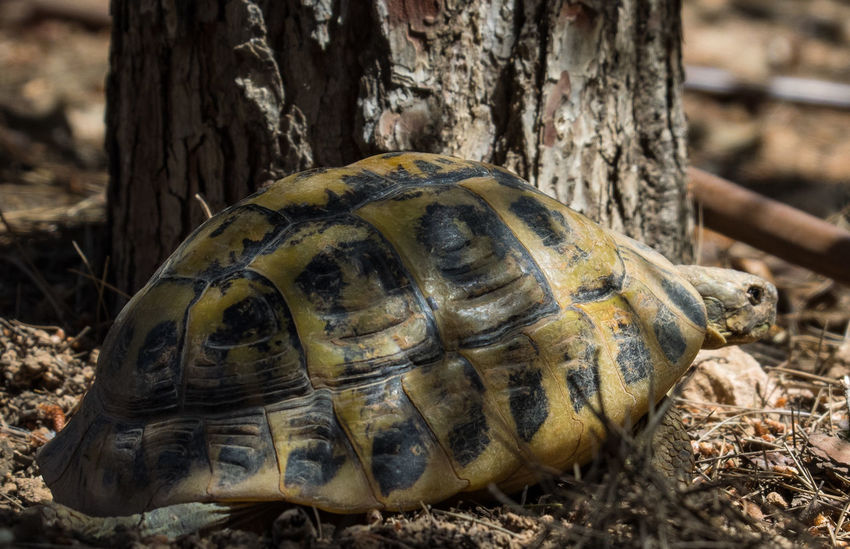 alone Animal Shell Animal Themes Animal Wildlife Animals In The Wild Close-up Day Field Focus On Foreground Nature No People One Animal Outdoors Reptile Tortoise Tortoise Shell Turtle Wildlife Omd-em1