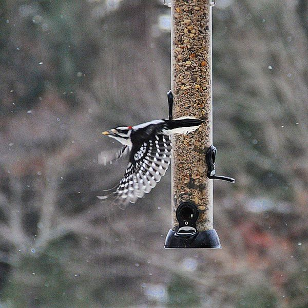 The Downy woodpecker is the smallest of the woodpeckers in North America. Taken on our bird feeder in northwest CT. Visitct Birds Woodpecker Nature Connecticut Birdfeeder Neature Birdwatching Travel Scenic Nikon D90 Igersnewengland