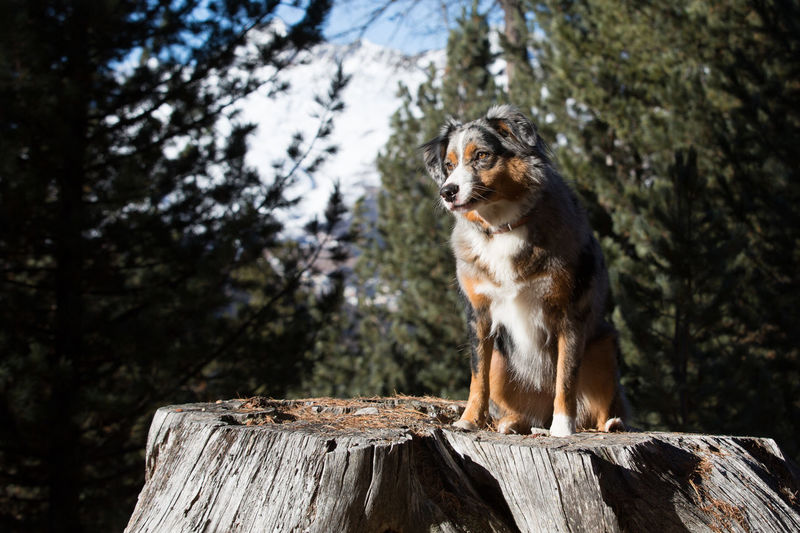 Dog On Tree Stump In The Forest