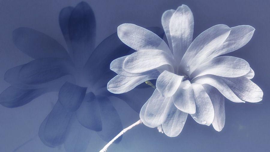 Magnolia Magnolia_Blossom Springtime Flower Edit Flower Head Flower Beauty In Nature Nature Is Art EyeEm Best Shots EyeEm Nature Lover EyeEm Best Edits Beautiful Nature Blue Edition Plant Life In Bloom Blooming Blossom