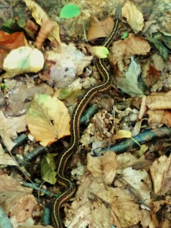 Garter Snake Slithering In The Forest Snake Gartersnake Garter_snake EyeEm Nature Lover EyeEm New Jersey Slithering Serpents Smartphone Photography EyeEm Gallery