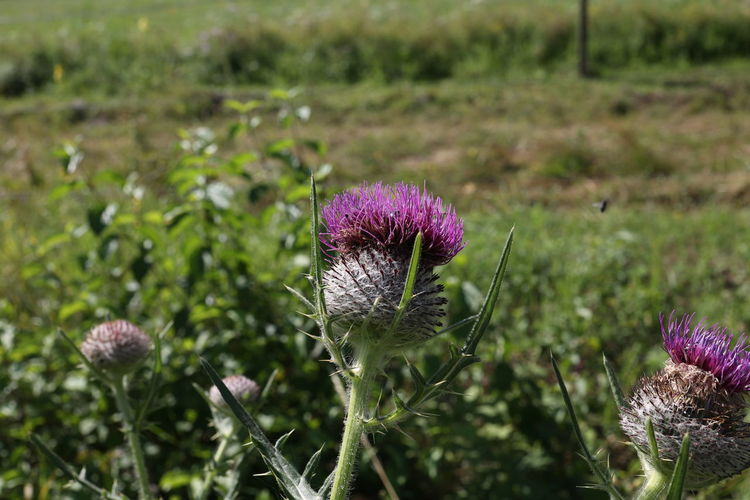 Close-up of fresh pink thistle flowers in field
