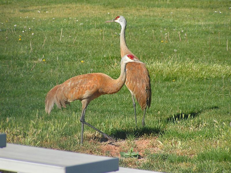 A pair of Sandhill Cranes in the football field of my sons high school! Animal Themes Animal Wildlife Animals In The Wild Animals In The Wild Beautiful Nature Beauty In Nature Bird Birds Of EyeEm  Crane - Bird EyeEmNewHere Day EyeEm Gallery EyeEm Nature Lover Field Grass Green Color Nature No People One Animal Outdoors Sandhill Crane Sandhill Cranes The Great Outdoors - 2017 EyeEm Awards